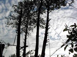 Удаление старого, больного дерева, обрезка засохших и мешающих ветвей соседних деревьев. Группа деревьев расположена на благоустроенном садовом участке, рядом с жилым домом. Обрезка осуществляется частями с целью сохранности участка и близлежащих построек.